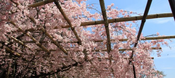 2017年4月17日 めっちゃコアな京都桜情報*上賀茂神社・半木の道