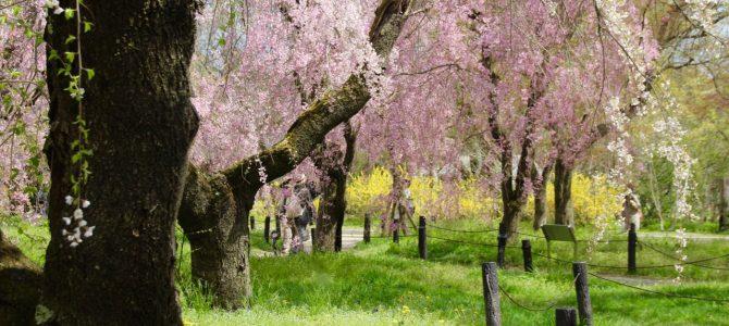 2017年4月14日現在 めっちゃコアな京都桜情報*府立植物園・半木の道