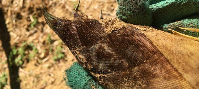 土に触れるヨロコビと心地よさーこんな体験が好き*生き方やライフスタイルを選ぶ*3年目になった筍掘り