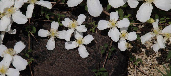 2017年5月9日 めっちゃコアな京都季節の花のお知らせ*京都府立植物園