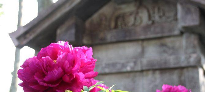 2017年5月1日 めっちゃコアな京都花のお知らせ*本満寺のぼたん