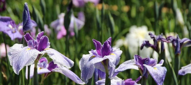 2017年6月9日現在 めっちゃコアな京都 花のお知らせ*植物園の菖蒲・半夏生・バイガモ