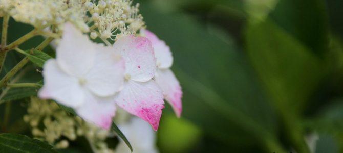 2017年6月16日現在 めっちゃコアな京都季節の花のお知らせ*植物園のあじさい・半夏生・蓮